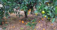 柑橘大实蝇