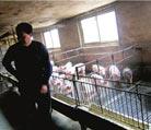 养猪风险不能仅由农民承担